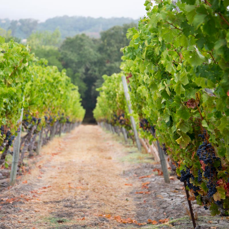 Pickberry Vineyards, >Sonoma Mountain AVA